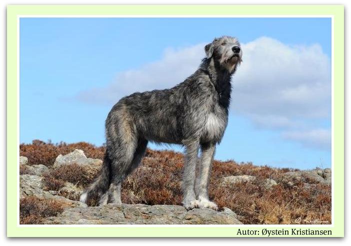 a91931ea98f Informační web pro majitele a chovatele irských vlkodavů